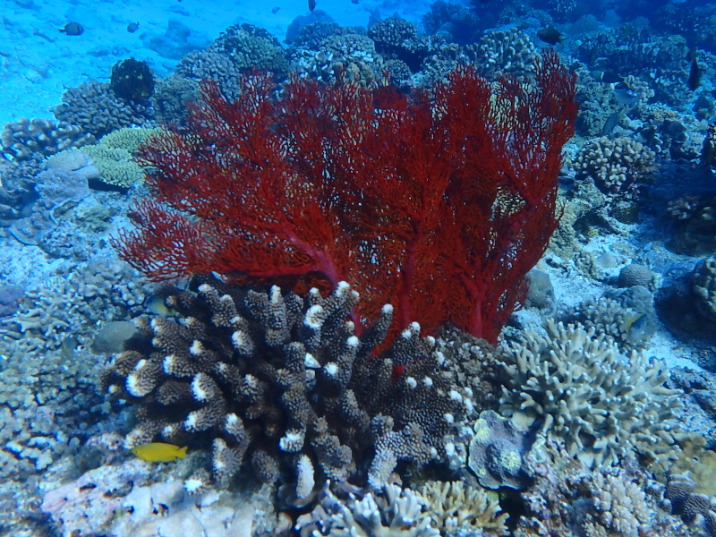 kerama islands okinawa fan coral